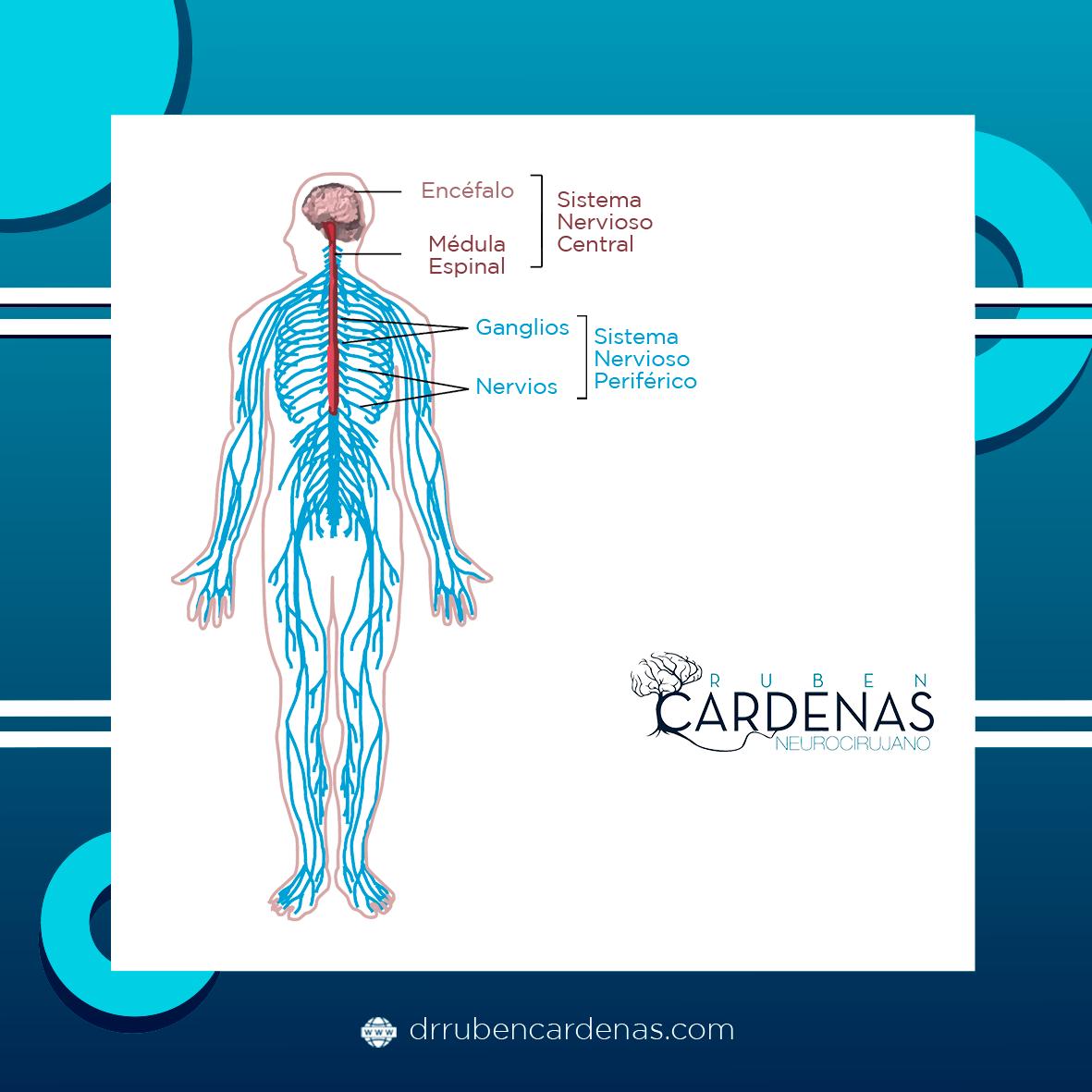 Composición Del Sistema Nervioso Dr Ruben Cardenas